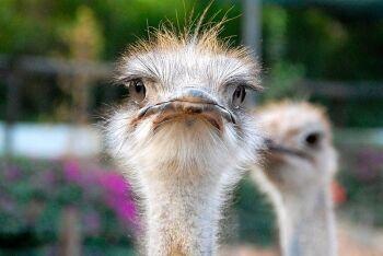 Ostriches, Oudtshoorn, Garden Route, Western Cape