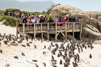 Penguins, Bolders Beach, Cape Town, Western Cape