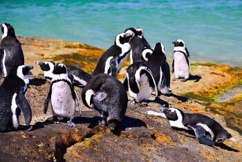 Penguins, Boulders beach, Cape Town, Western Cape