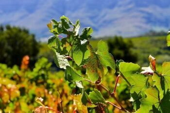 Vineyard, Winelands, Western Cape