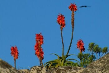 Red-hot poker flowers, Cape Town, Western Cape